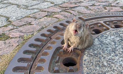 Chú chuột hoảng loạn khi thấy người đến. Ảnh: BBC.