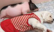 Mua heo mini, cô gái nuôi ra chú lợn to gấp đôi mình