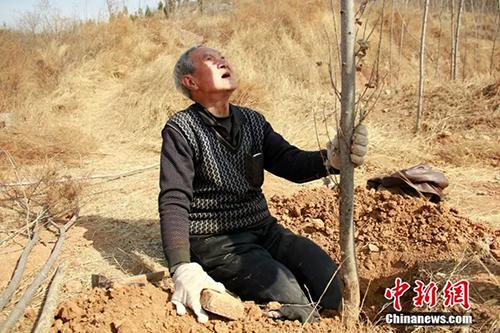 Thông thường sẽ có người vận chuyển cây lên núi và ông Sanxiao phải đào hố để trồng. Ảnh: China News.