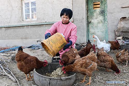 Làm việc, dọn dẹp và trồng cây chậm hơn người bình thường, nhưng chúng tôi có thể làm được. Trong 11 năm kể từ khi kết hôn, Liu Hai và Li Meiwen đã cùng phối hợp đôi tay và đôi chân để hoàn thành việc nhà, trồng rau, nuôi gà và các công việc khác trong trang trại của họ cũng được tổ chức đâu vào đó. Chị Li nuôi rất nhiều gà.