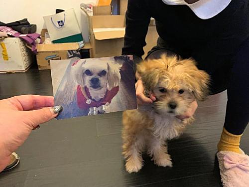 Cộng đồng mạng hoài nghi về chú chó nhân bản, khi thấy màu lông Nini đã chết (ảnh trái) và con nhân bản (phải) khác nhau. Ảnh:Sina.