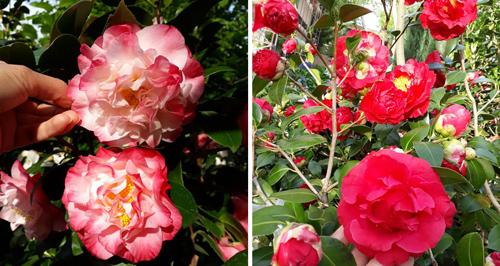 Hoa trà mi khoe sắc trong vườn với đủ màu trắng hồng, hồng đỏ, trắng...