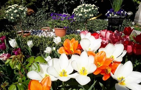 Chị Trang cho biết, khí hậu ở Đức khắc nghiệt, mùa đông có khi nhiệt độ xuống đến âm 20 độ C, chính bởi vậy, chị phải lựa chọn các loại cây trồng phù hợp, chủ yếu là cây lâu năm và các loài chịu được mùa đông lạnh giá.  Hiện nay, những loại cây chị trồng nhiều nhất trong vườn là hoa trà, hoa đỗ quyên, cẩm tú cầu, mẫu đơn, tulip, hoa hồng, hoa ly, oải hương,...