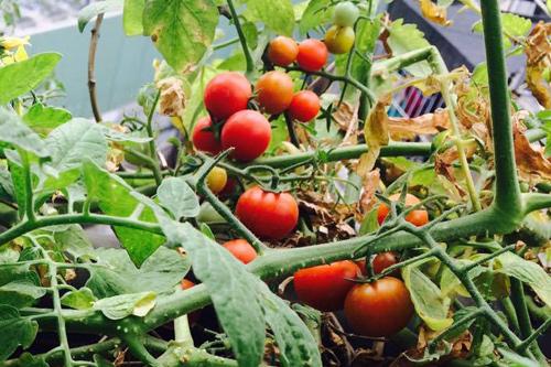Cà chua ưa sáng, có sức phát triển tốt.