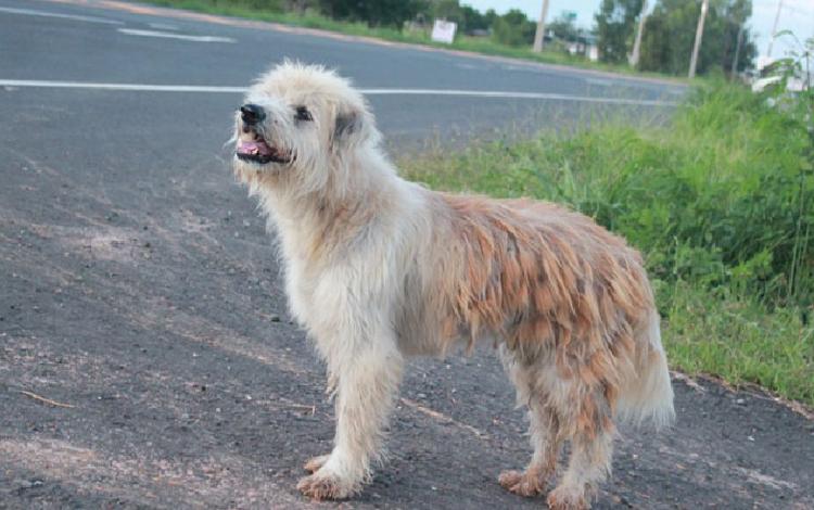 Chú chó 4 năm đứng ở ngã tư đường đợi chủ. Ảnh: chinapress.com.