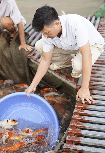 Anh Sơn đang chăm bè cá Koitrên sông Hồng, đoạn qua xã Mỹ Tân, huyện Mỹ Lộc, Nam Địnhhôm 3/10. Ảnh: Trọng Nghĩa.