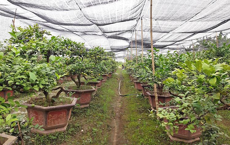 Giống chanh cảnh được anh Hà nhập từ Australia và Mỹ về, mỗi cây được bán với giá2-20 triệu đồng. Ảnh: Phạm Nga.