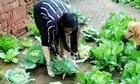 Người phụ nữ trồng bắp cải trên sân gạch