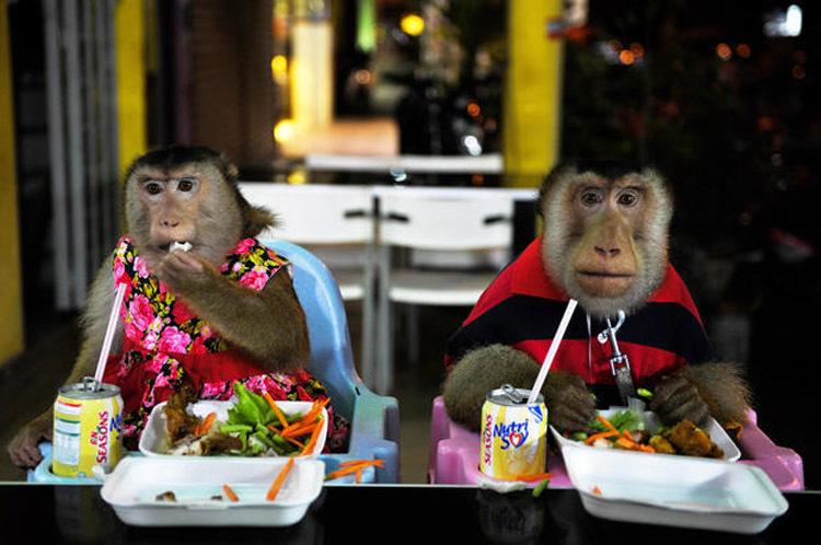 Hai chú khỉ có bữa tối như con người. Ảnh: AFP.