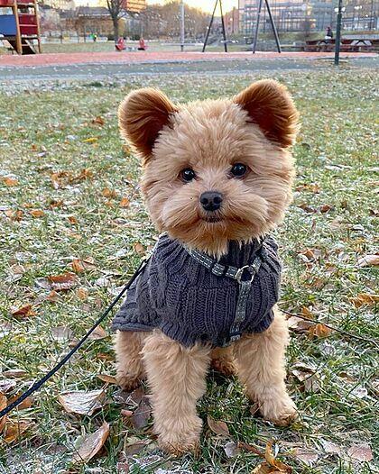 Oliver trông như một con gấu bông. Ảnh: Oliverthedogx.