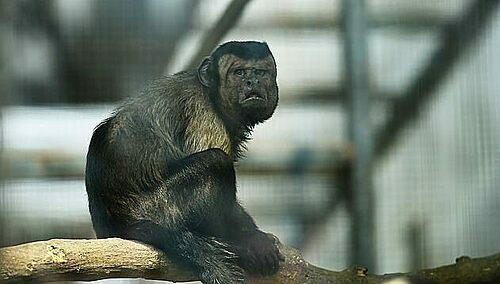 Khuôn mặt giống người cau có khiến con khỉ ở Thiên Tân nổi tiếng với du khách nhưng xui xẻo trong tình yêu. Ảnh: REX/Shutterstock.
