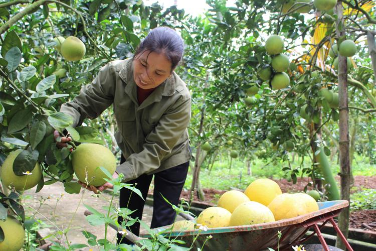 Bà Thơ đang trẩy bưởi vào mùa thu hoạch. Một cây bưởi của gia đình ông Nhung cho thu hoạch tối đa 4 triệu đồng một năm. Ảnh: Phạm Nga.