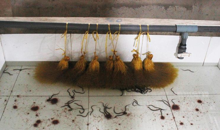 Lươn ấp nở được nuôi trong bể nước sạch chờ xuất bán, thức ăn là giun chỉ. Giá thể ni lông là nơi trú ngụ của lươn. Ảnh: Diệp Phan.
