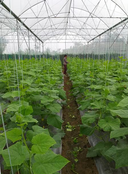 Các loại dưa, được trồng trong nhà màng, diện tích 3.000 m2. Ảnh: M.H.