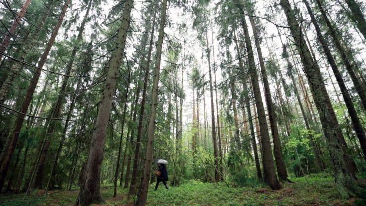 Saara Alhopuro đi bộ và hái nấm ở Turku, một thành phố trên bờ biển Phần Lan. Ảnh: CNBC.