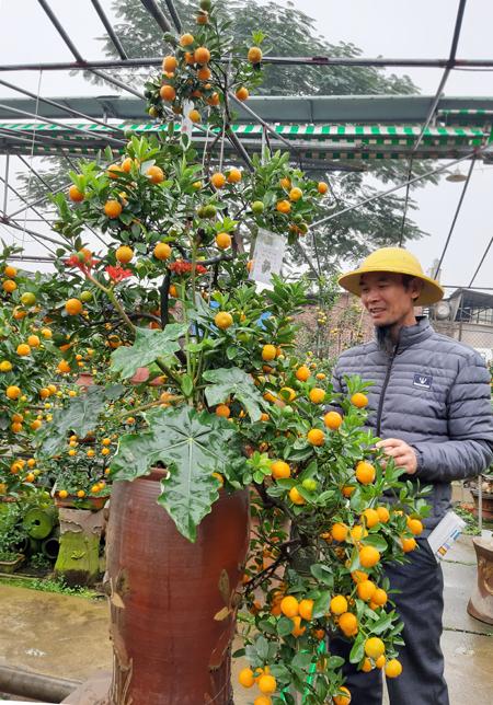 Cây quất dáng Kim Long Sà có cành chạm gần đáy bình, được trồng kèm cây ngô đồng - ngô đồng trồng cửa quan, với ý nghĩa cầu mong sự thăng tiến trong sự nghiệp cho gia chủ. Ảnh: Phạm Nga.