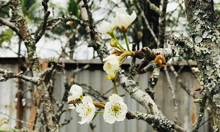 Hoa lê rừng có cánh trắng muốt, tượng trưng cho sự thanh khiết và sự hiếu thảo được người Hà Nội ưa thích trưng trong nhà sau Tết nguyên đán. Ảnh: Hải Hiền