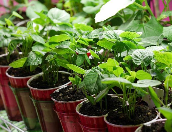 Con gái tặng mẹ vườn rau Việt trên đất Mỹ