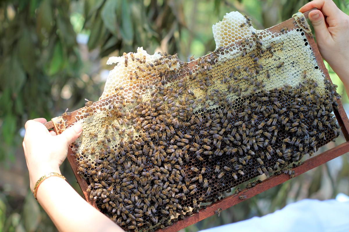 Trong cầu này, phần trên là mật, phần dưới là ấu trùng ong. Cầu ong trong hình đã đóng vảy, mật sẽ đặc hơn so với các cầu khác. Ảnh: Phan Dương.
