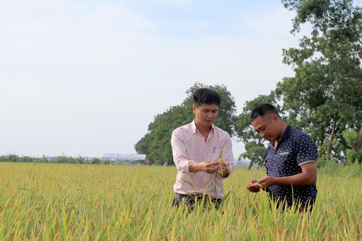 Anh Đoàn (trái) hợp tác cùng anh Vũ Văn Nho (phải), cán bộ phòng bảo vệ thực vật, Trung tâm Bảo vệ thực vật phía Bắc. Anh Nho sẽ giám sát mùa vụ, sâu bệnh cho cây lúa. Ảnh: Phan Dương.