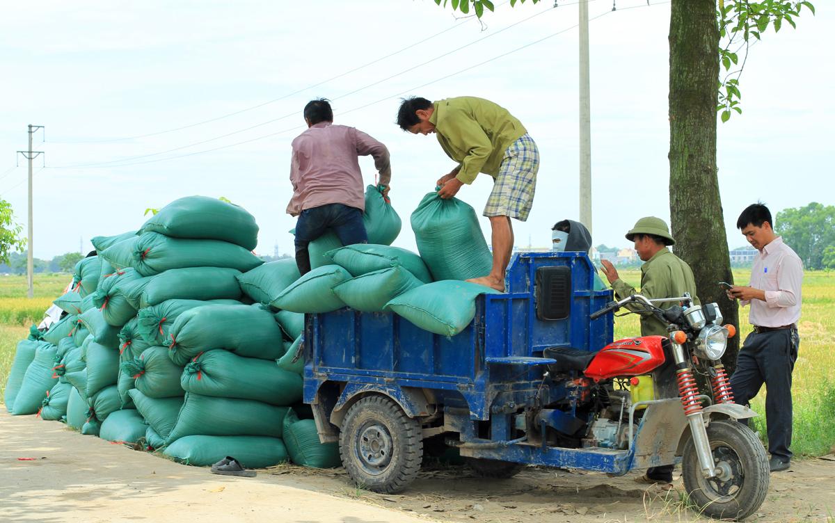Lúa của anh Đoàn thu hoạch được thương lái mua ngay tại ruộng. Ảnh: Phan Dương.