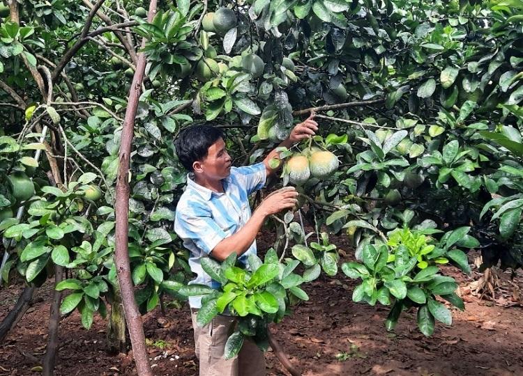 Với hai sào đất bố mẹ để lại, anh Quyết dùng trồng bưởi, mỗi năm cho thu nhập khoảng 60 triệu đồng. Ảnh: Duy Cừ.