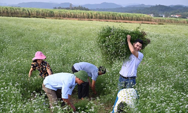 Dương Ngọc Trường khai thác mùi già để chiết xuất tinh dầu cùng người dân ở xã Thạch Thành, Thanh Hóa. Ảnh: Nhân vật cung cấp.