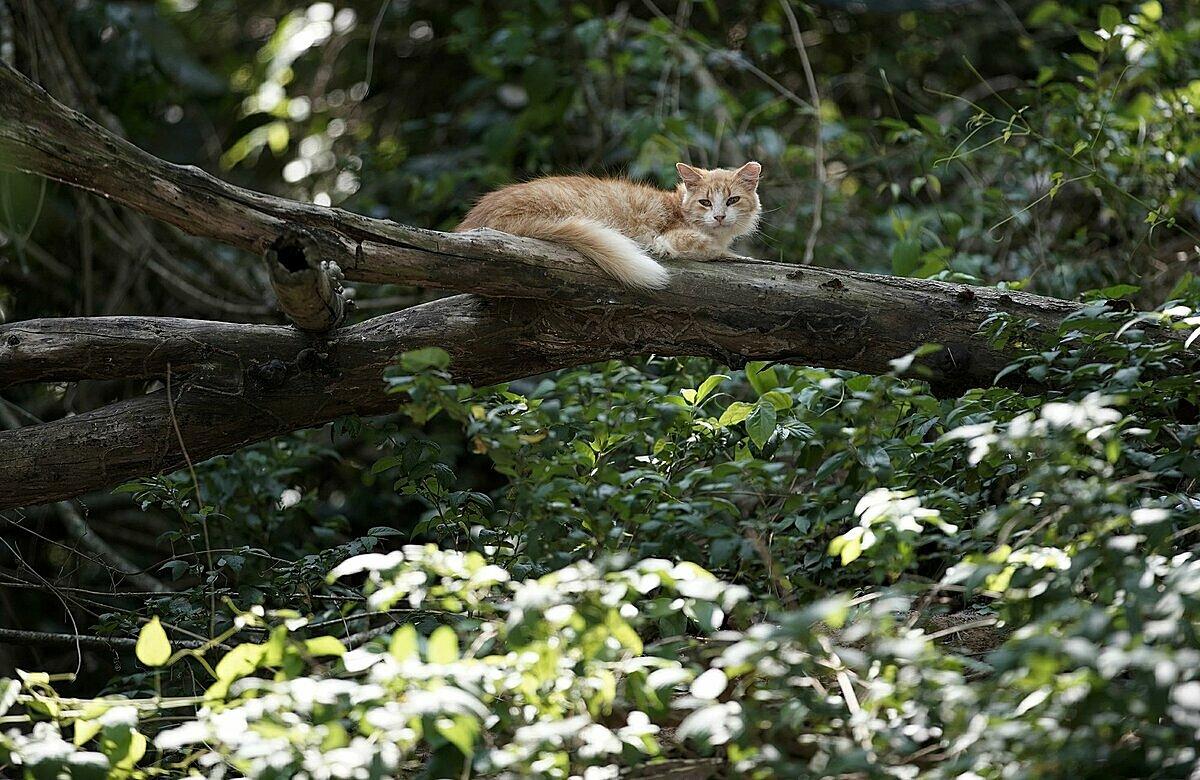 Một con mèo nằm phơi nắng trên cành cây ở đảo Furtada. Ảnh: AP/Silvia Izquierdo