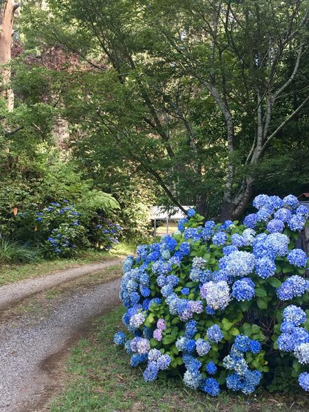 Hoa cẩm tú cầu được trồng quanh con đường vào nhà. Hiện nhà chị Hương có khoảng 200 gốc cây cẩm tú cầu, đa số có tuổi đời trên 15 năm. Ảnh: Nhân vật cung cấp.