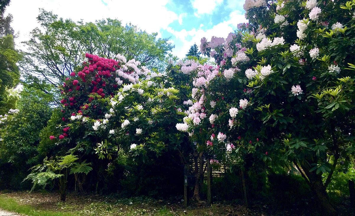 Bao quanh khu vườn 6.000 m2 là hàng rào hoa đỗ quyên ở tầng cao 3m với các sắc hoa đỏ, tím, hồng, và trắng. Cứ đến mùa xuân, hàng triệu bông hoa rực rỡ trải dài hàng trăm mét quanh nhà. Ảnh nhân vật cung cấp.