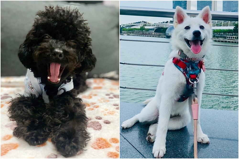 Hai chú chó Maxime mua trong năm ngoái. Ảnh: Maxime/Straits Times.