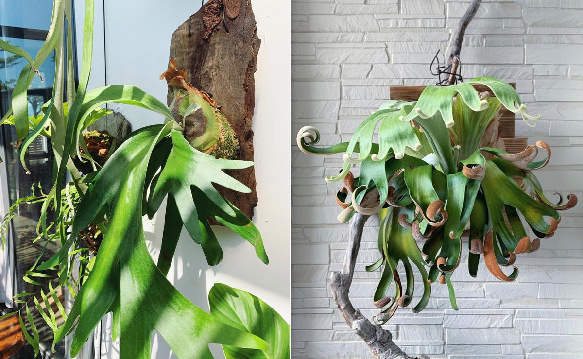 Platycerium Foog Siqi là loài dương xỉ gồm hai bộ phận là lá sinh sản (bộ râu) là nơi có chứa bào tử khi cây trưởng thành và lá chắn nơi có lá ôm bảo vệ bộ rễ và bám dính vào vật được cây bám vào, có màu nâu khi già đi và thành chất dinh dưỡng nuôi cây. Cây của My (trái) có tuổi đời 5 năm, cô hy vọng thêm 2 năm nữa nó sẽ có râu như hình mẫu (phải). Ảnh: Nhân vật cung cấp.
