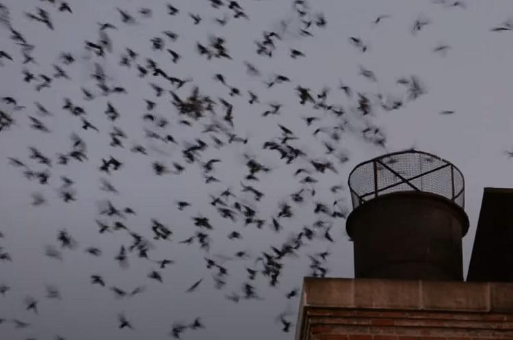 Những chú chim kéo vào nhà dân gây nên cảnh dở khóc, dở cười. Ảnh minh họa: Vauxs Swifts.