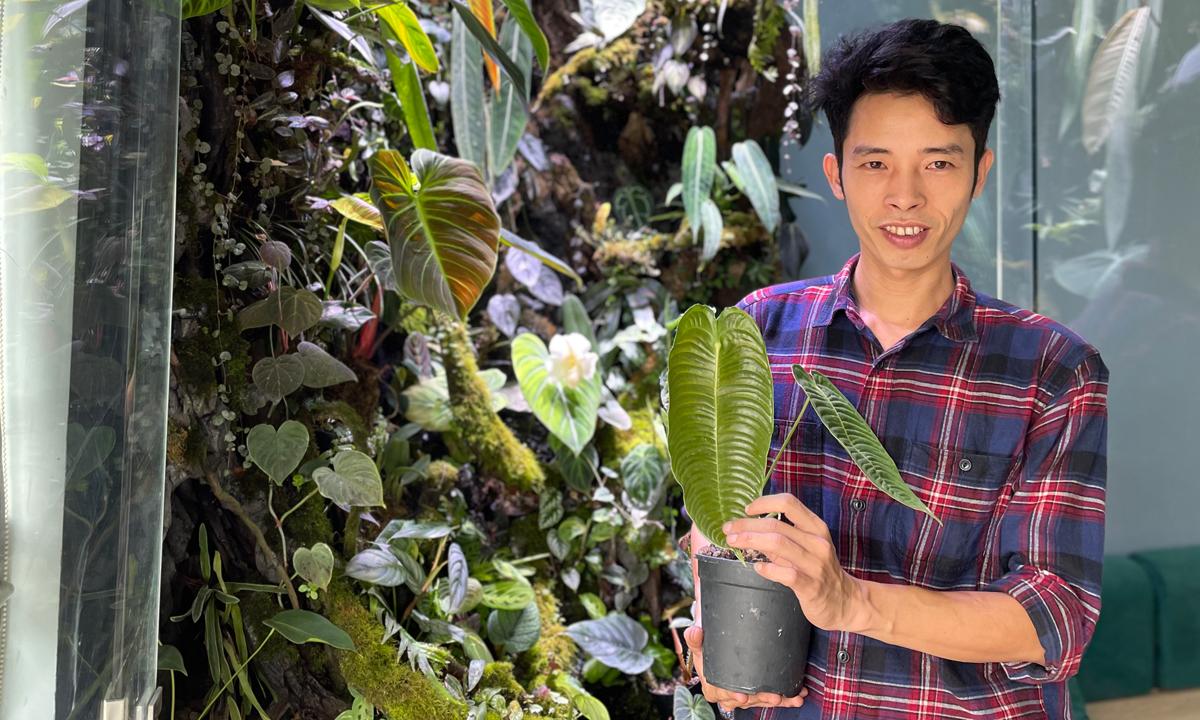Trên anh anh Lợi là cây Anthurium Veitchii có những chiếc lá với nếp gấp đẹp. Ảnh: Phan Dương.