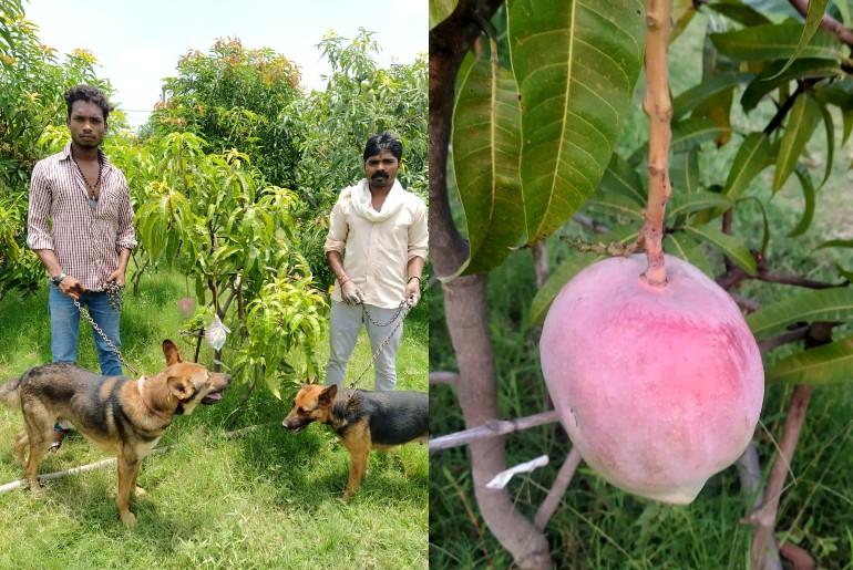Gia đình đã thuê bảo vệ và chó becgie để canh vườn xoài 24/24. Ảnh: Hindustantimes.