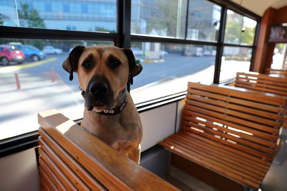 Boji (tên mà các quan chức địa phương đặt cho chú chó) đang ngồi trên một chuyến tàu điện ở quận Kadikoy. Ảnh: Reuters.
