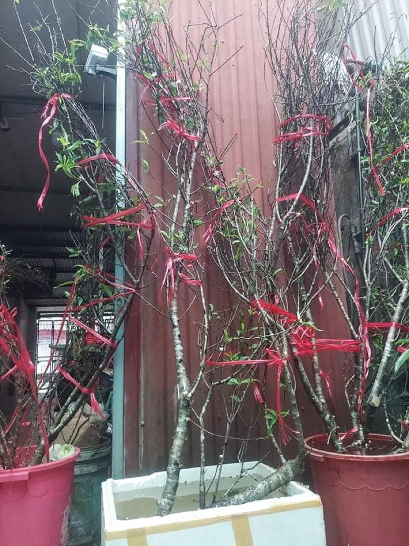 Đào rừng được nhập từ Sơn La, có mức giá dao động từ 350.000 đồng đến 1,5 triệu đồng. Ảnh: Nhân vật cung cấp